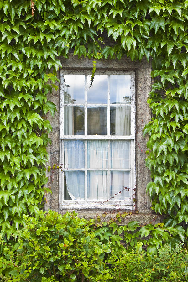 Typical old irish window with wall covered in ivy Ireland stock image