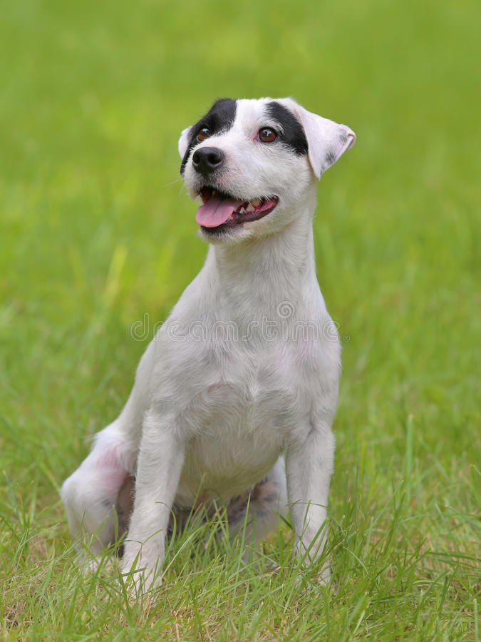 Typical Parson Russell Terrier in the garden stock photo