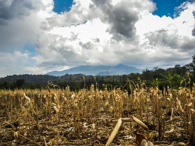 A typical small maize field from small farmers. In tanzania stock photos