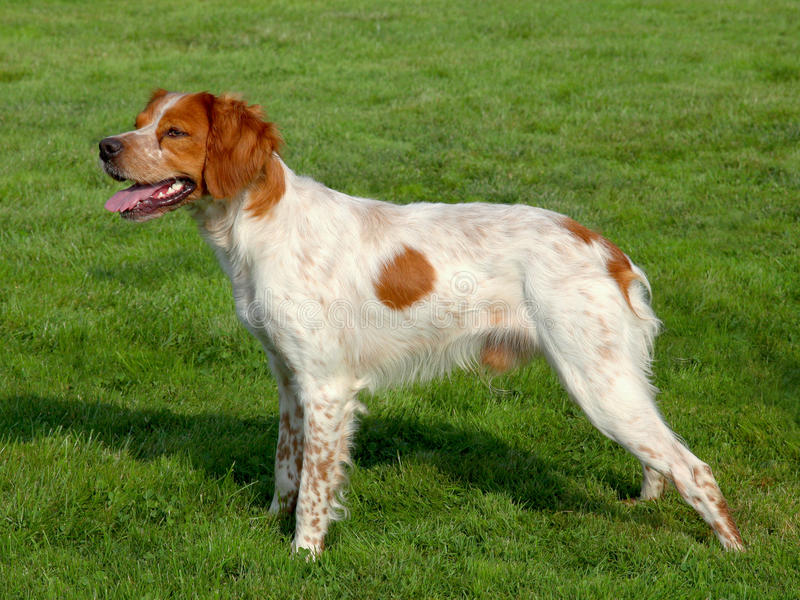 Typical spotted Brittany Spaniel dog stock photos