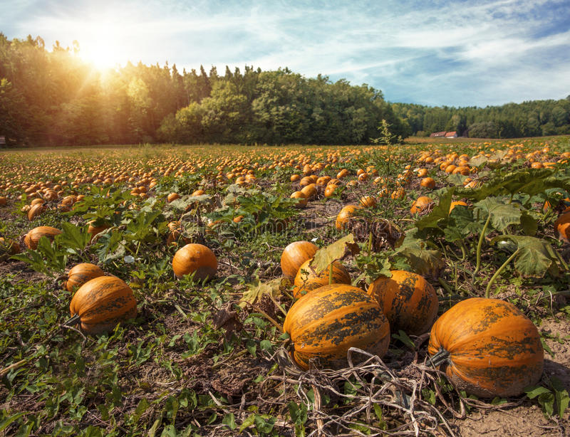 Typical styrian pumpkin field stock images
