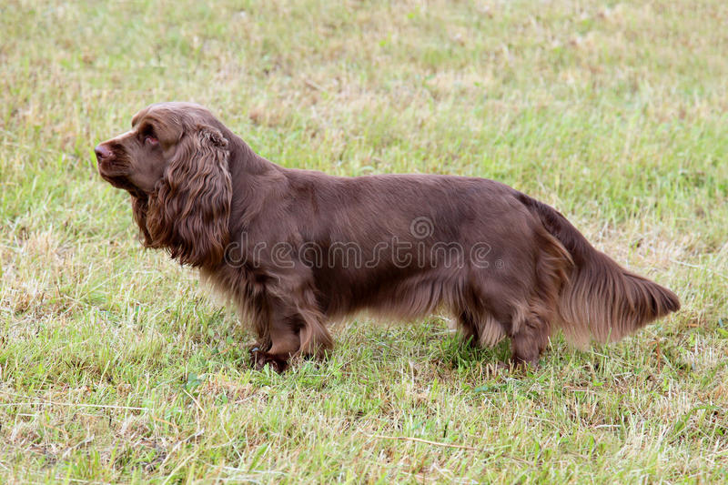 Typical Sussex Spaniel on a green grass lawn. Typical Sussex Spaniel dog in the spring garden stock images