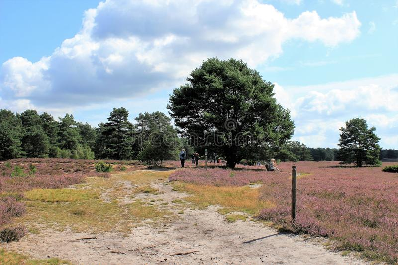 Typical view of lunenburg heath near hermannsburg. A way through the heath blossom stock images