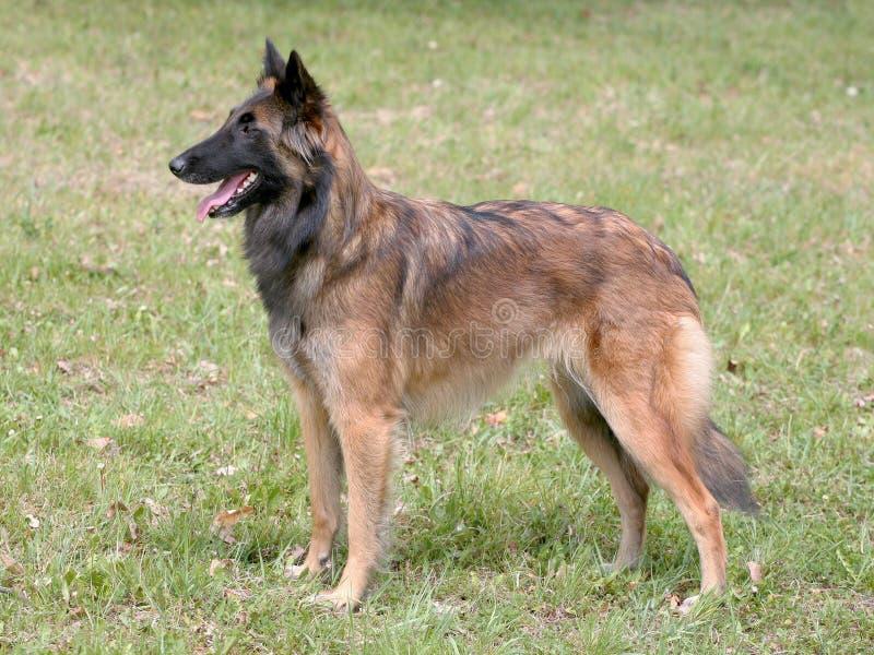 TypicalBelgian herde Dog på en gräsmatta för grönt gräs royaltyfria foton