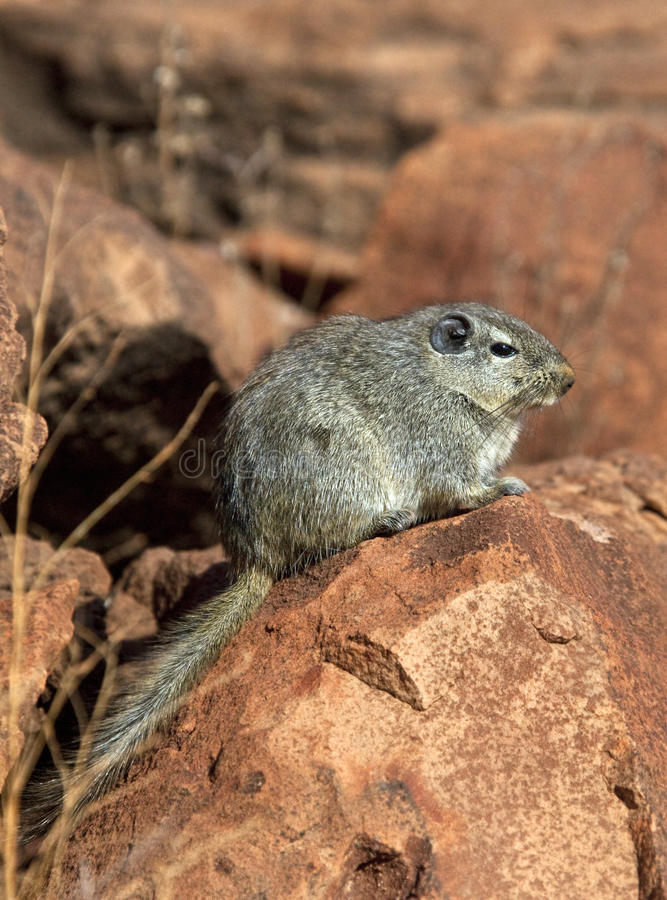 typicus крысы petromys Намибии dassie стоковое фото