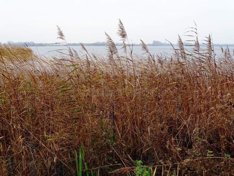 Typische Ansicht von niederländischem See mit bedeckten Reedufern lizenzfreie stockfotos
