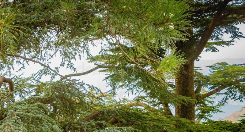 Typische boom op de hoogten van Como in Italië stock foto