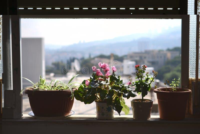 Typische israelische Blume Rakafot mit Haifa University und Mt Carmel im Hintergrund, in den Blumen und in den Anlagen in Israel stockfotografie