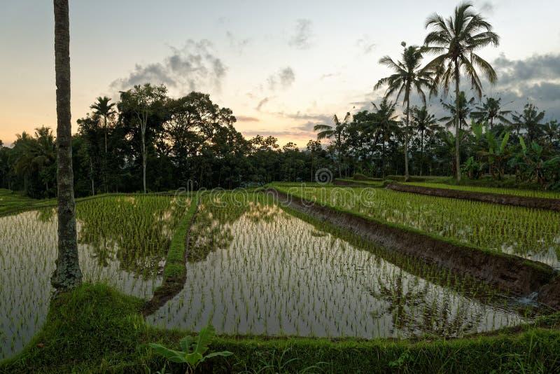 Typische javanese padievelden bij zonsondergang stock fotografie