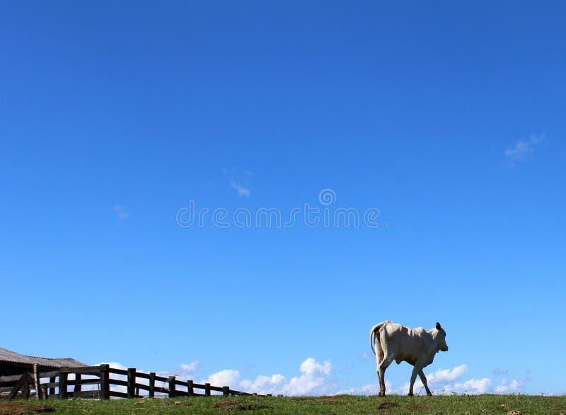 Typischer Brasilianer des Viehs stockbild