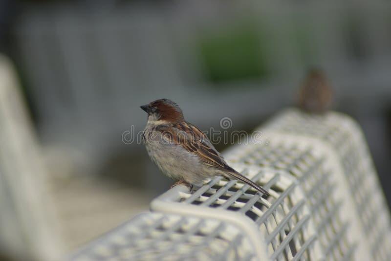 Typischer Schweizer Vogel, der auf einer metallischen Bank in Vevey die Schweiz stillsteht lizenzfreie stockfotos