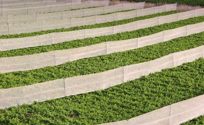 Typischer Weinberg in Valle Del Elqui lizenzfreie stockbilder