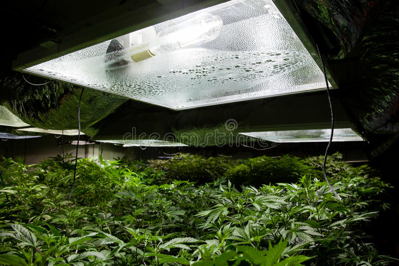 Typisches Innenmarihuana wachsen Raum mit Lichtern stockfoto