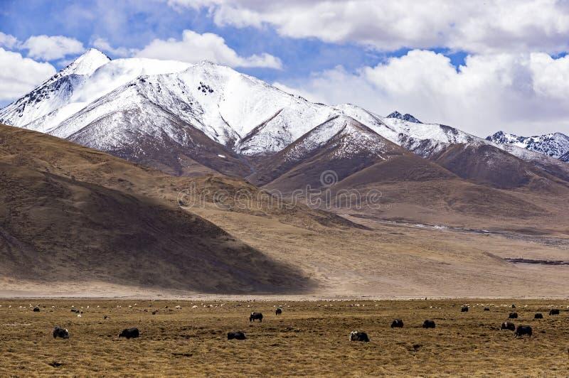 Typisk berglandskap med tibetana yaks - Tibet arkivbilder