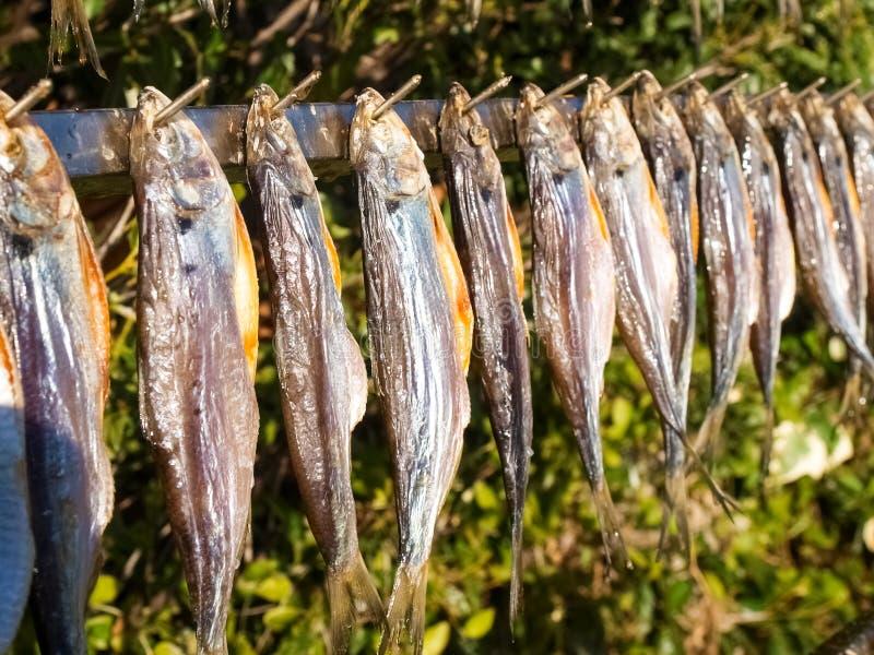Typisk fisk som namnges misultin royaltyfria foton