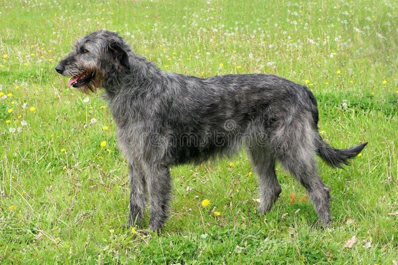 Typisk grå irländsk varghund royaltyfri fotografi