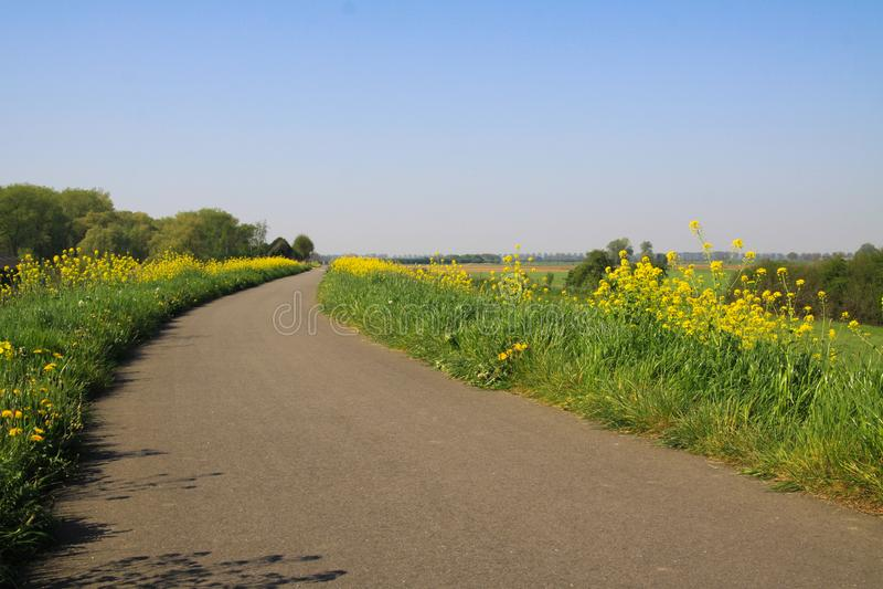 Typisk holländare stenlade det lantliga cykla spåret med grönt gräs och gula maskrosor och rapsfröblomningar på båda sidor - Nede royaltyfri bild