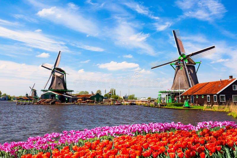 Typisk landskap f?r holl?ndare Traditionella gamla holländska väderkvarnar med huset, blå himmel nära floden med tulpanblommablom royaltyfria bilder