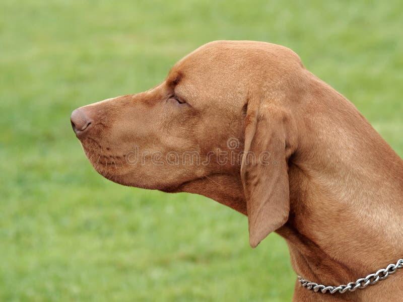 Typisk ungersk Kort-haired peka hund i trädgården royaltyfri fotografi
