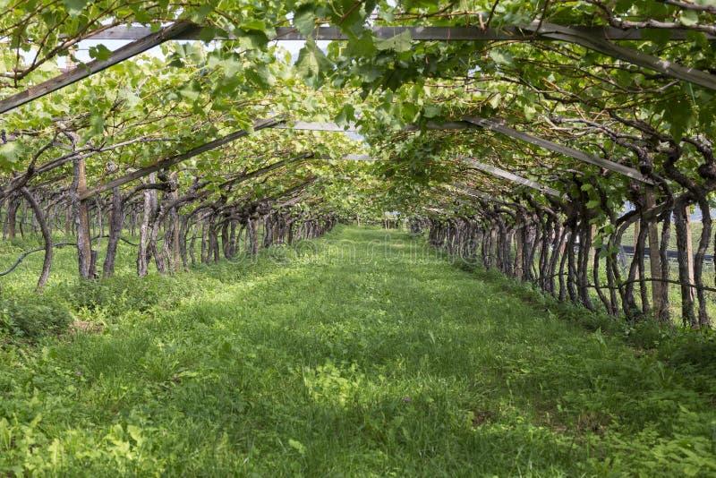 Typisk vingård i södra Tyrol, nordliga Italien, Europa, når att ha skördat arkivfoton