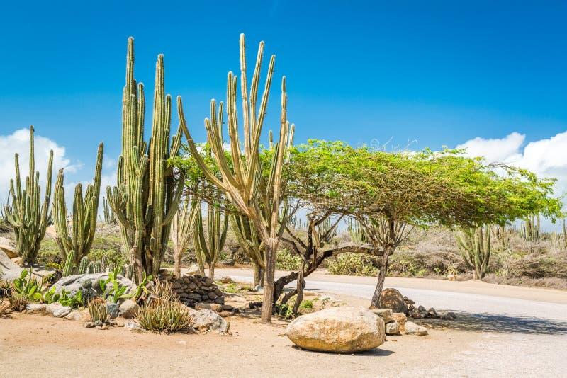 Typiska kakturs och buskar för torrt klimat i Aruba arkivfoton