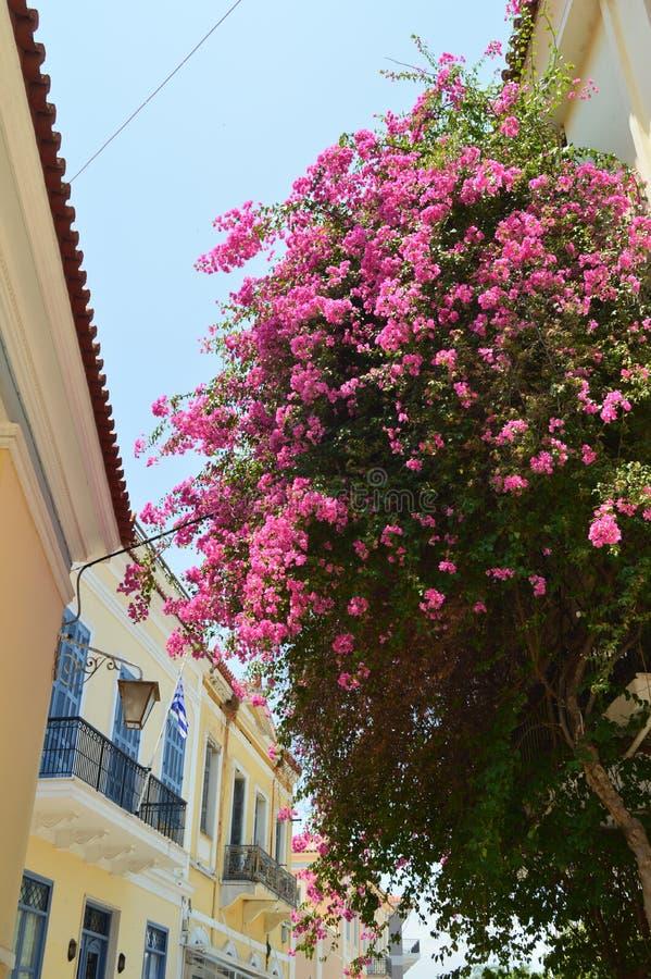 Typiska rosor för härliga blommor av Grekland Arkitektur lopp, landskap, kryssningar royaltyfria bilder