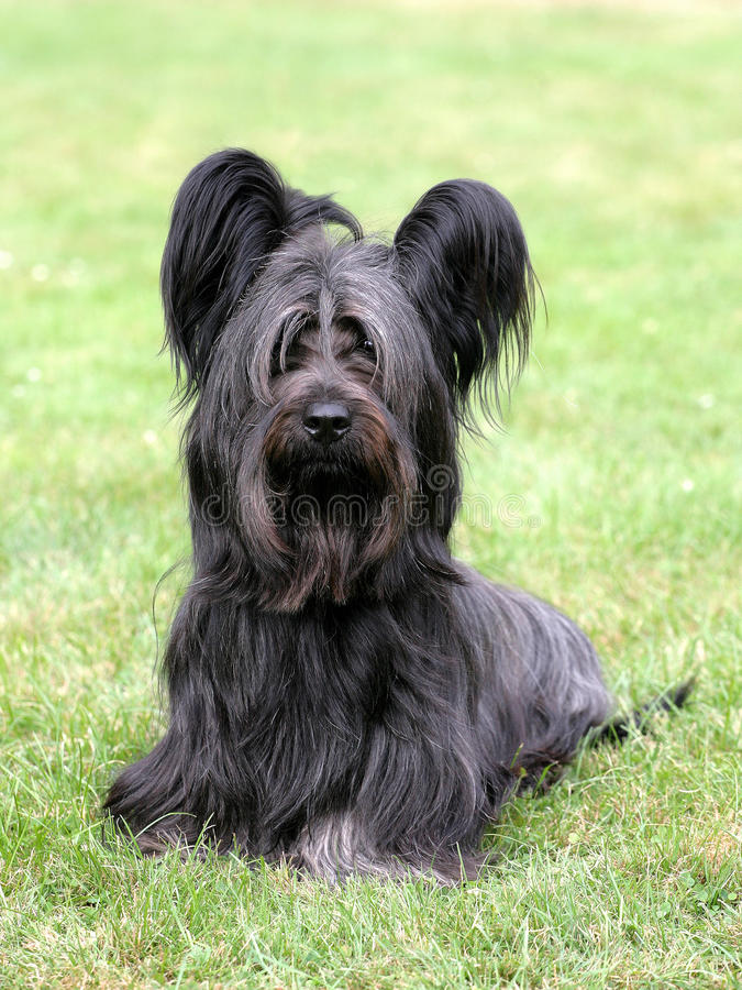 Typiska svarta Skye Terrier royaltyfria foton