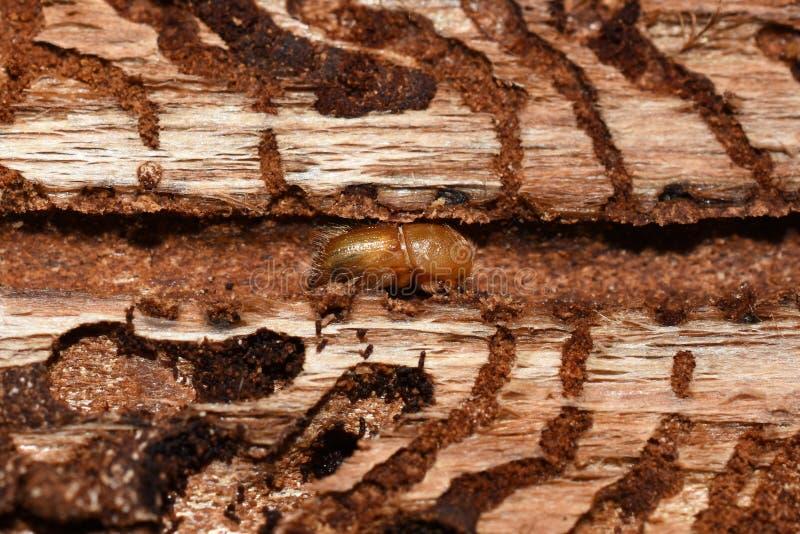 Typographus Ips под корой елевого дерева стоковое фото rf