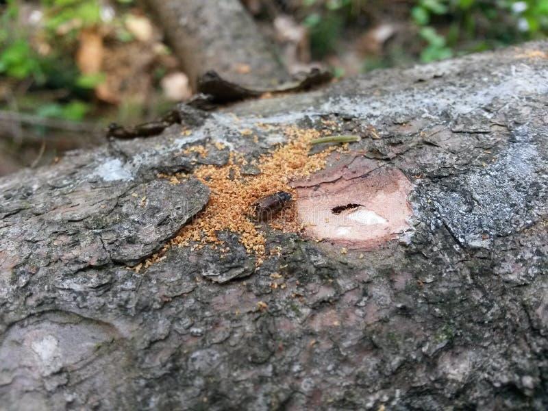 Typographus l Ips Жук расшивы европейца елевый стоковое изображение