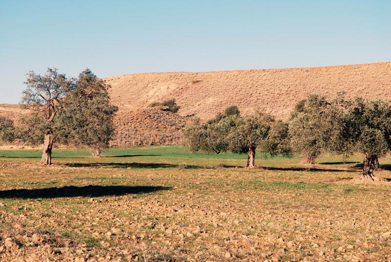 Typowa drzewo oliwne ziemia która używa produkować dziewiczego oliwa z oliwek, prywatnie - posiadać obraz royalty free
