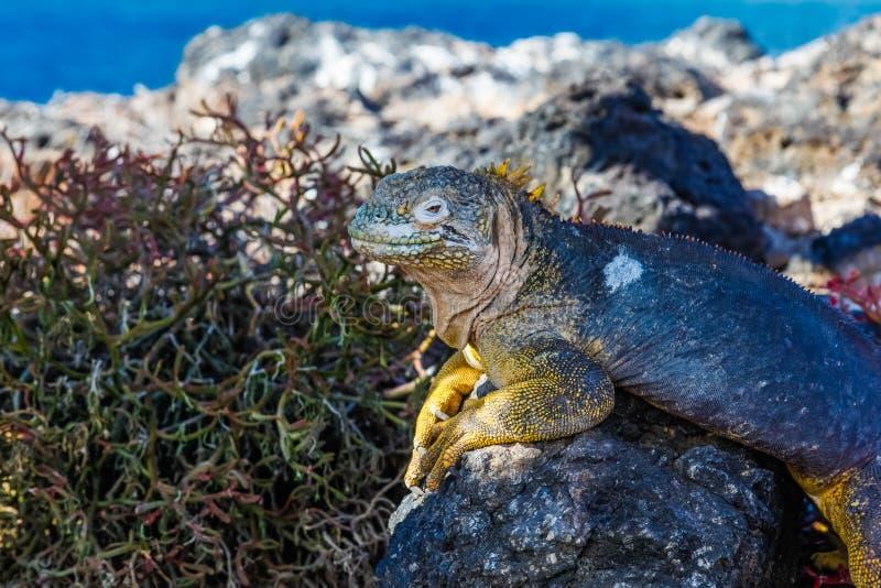Typowa gruntowa iguana Isla plac Sura obraz royalty free