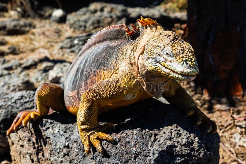 Typowa gruntowa iguana Isla plac Sura, Galapagos fotografia stock
