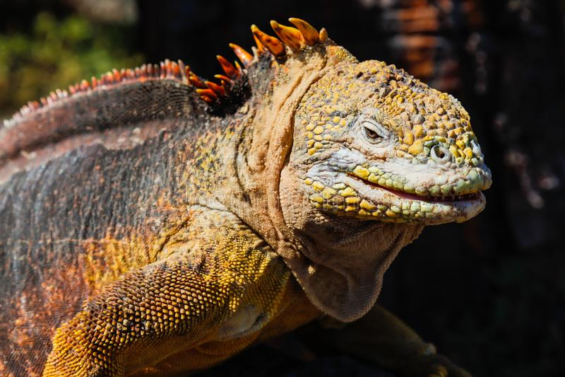 Typowa gruntowa iguana Isla plac Sura, Galapagos fotografia royalty free