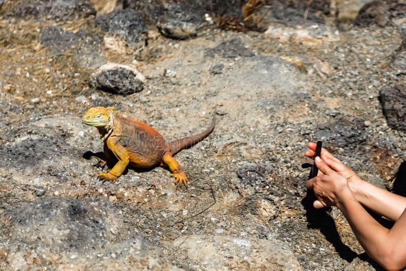 Typowa gruntowa iguana Isla plac Sura, Galapagos obraz royalty free