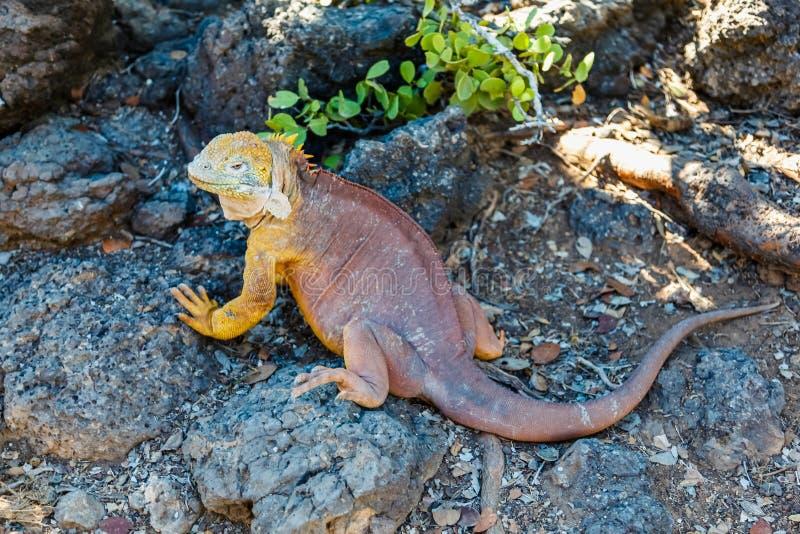 Typowa gruntowa iguana Isla plac Sura, Galapagos zdjęcie royalty free