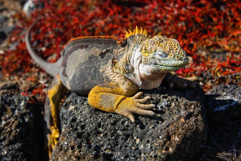 Typowa gruntowa iguana Isla plac Sura, Galapagos obraz stock