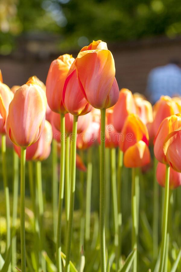 Typowi Holenderscy pomarańczowi tulipany fotografia royalty free