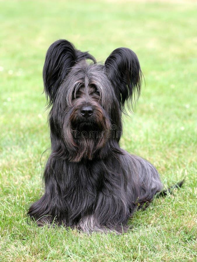 Typowy czarny Skye Terrier zdjęcia royalty free