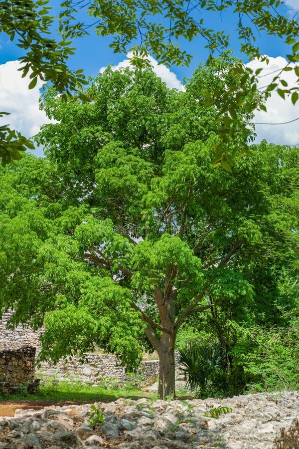 Typowy drzewny błonie w półwysep jukatan obraz royalty free