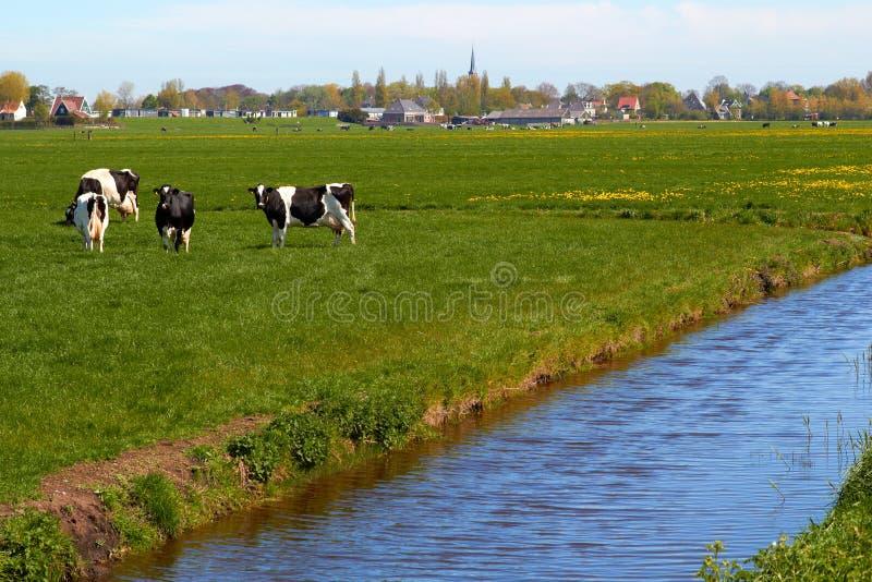 Typowy holendera krajobraz z krowy ziemią uprawną i uprawia ziemię dom obrazy stock