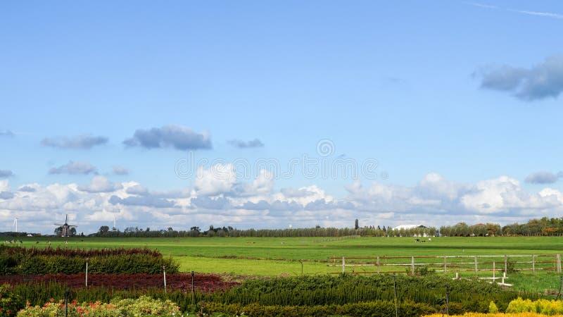 Typowy holendera krajobraz z paśnikami, krowami i wiatraczkiem, zdjęcia royalty free