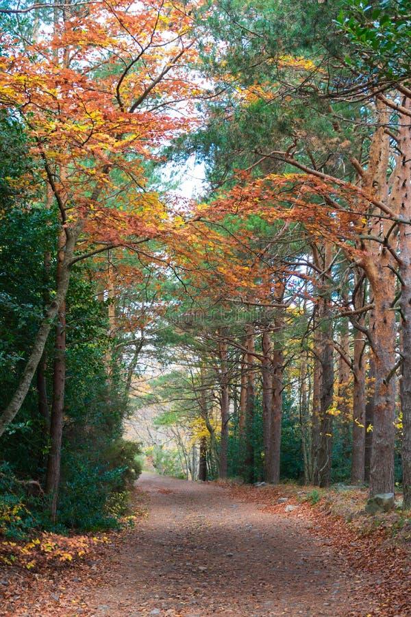 typowy jesienny krajobraz lasu z żółtymi i brązowymi liśćmi w gałęziach i na podłodze, obejmujący sposób jest kilka obraz stock