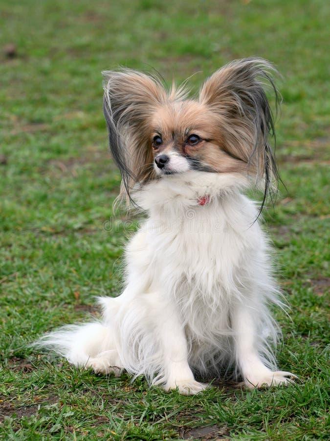 Typowy Młody Papillon pies w ogródzie zdjęcia royalty free