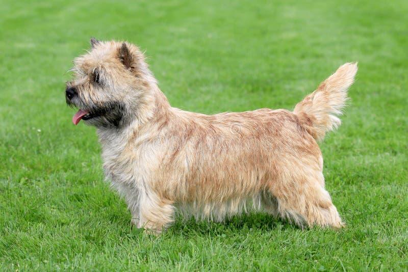 Typowy Norwich Terrier w ogródzie obraz stock