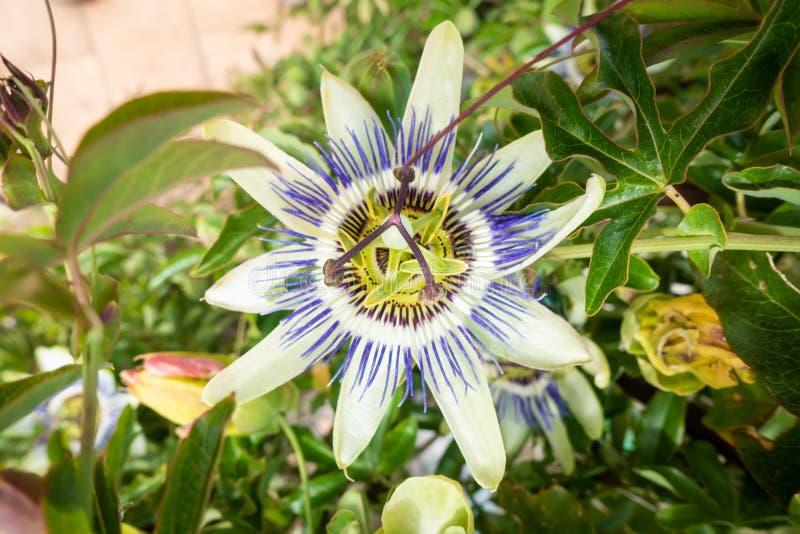 typowy passionflower rośliny okwitnięcie fotografia stock