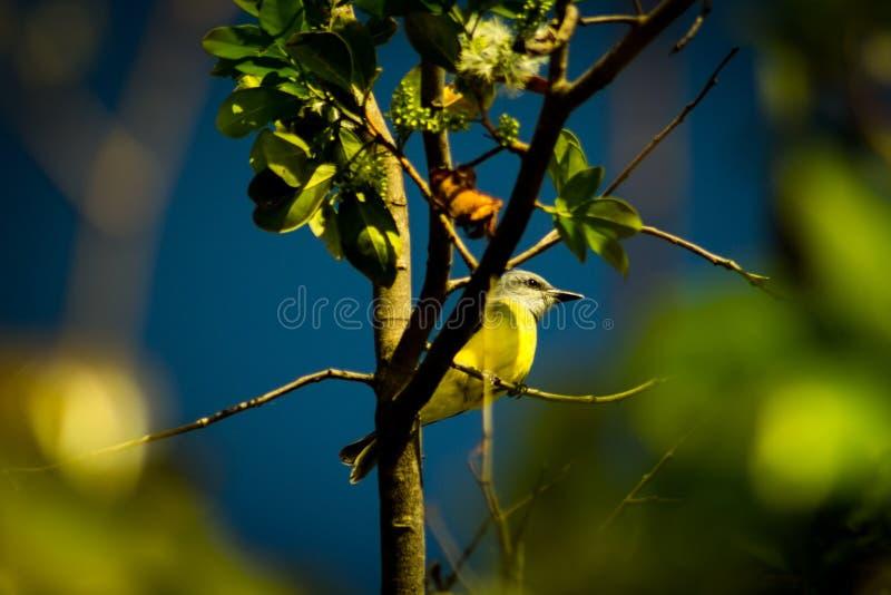 Typowy ptak Brazylia, znać jako Bem Te Vi & x28; dobry widzieć ciebie w bezpłatnym translation& x29; obraz royalty free