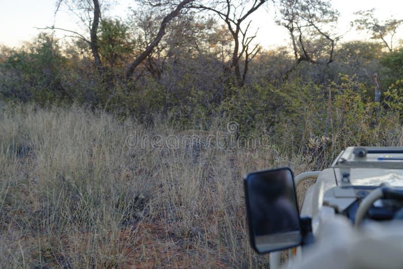 Typowy widok skryty i nieuchwytny Afrykański lampart od safari pojazdu przy Okonjima rezerwatem przyrody, Namibia obrazy royalty free