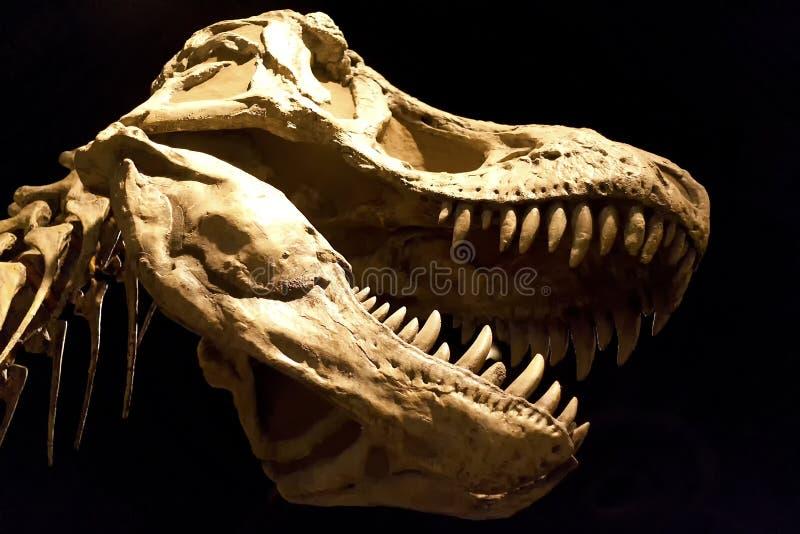 Tyrannosaure Rex photos libres de droits