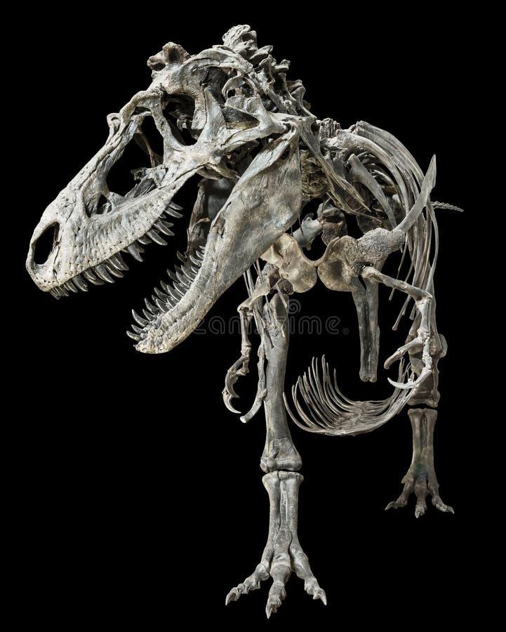 Tyrannosaurus Rex-Skelett auf lokalisiertem Hintergrund stockfotos