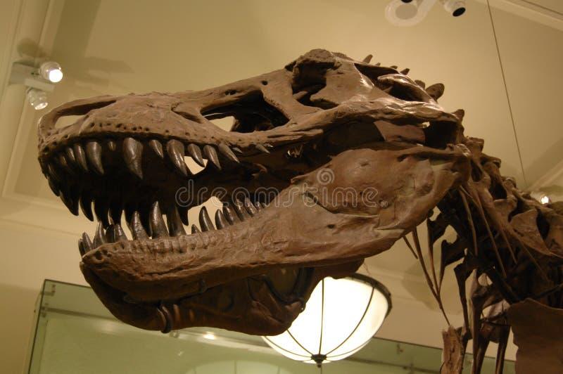 Tyrannosaurus rex skull stock image